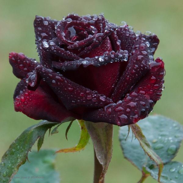Rain Rose by SkySkape