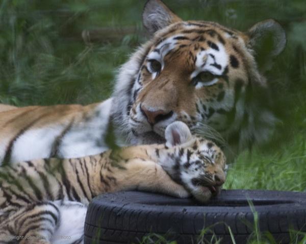 Tyre\'d Tiger by SkySkape