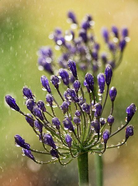 Agapanthus in the rain