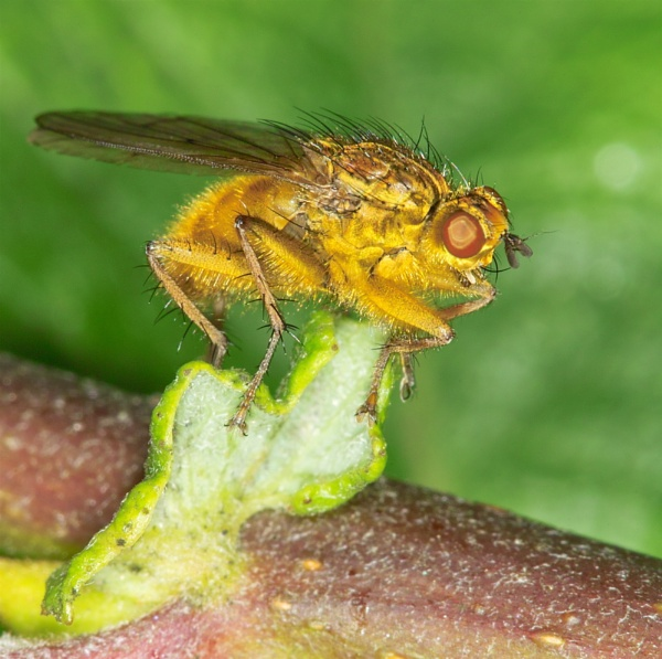 Yellow Dung Fly by Gemma9