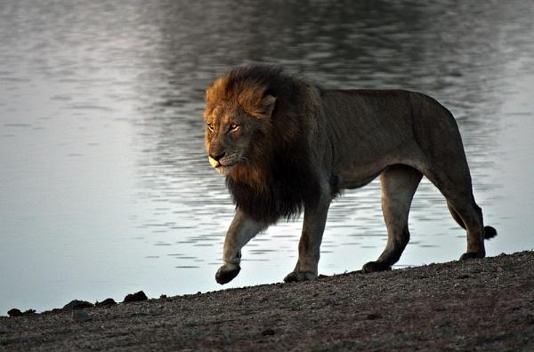 Lion at Kruger by DennisT