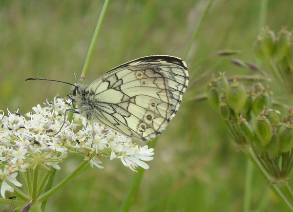 Marbled White on  a windy day by Colliedog77