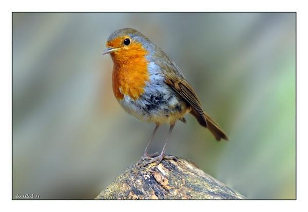 robin by photoflacky