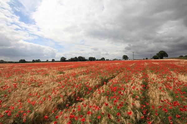 Poppy Field by Kdoone