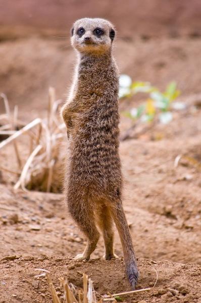 Meerkat by AlexRitchie