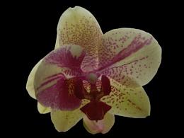 Backlit Orchid