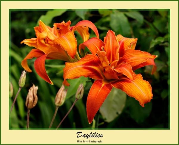 Daylilies by Alandyv8