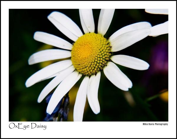 OxEye Daisy by Alandyv8
