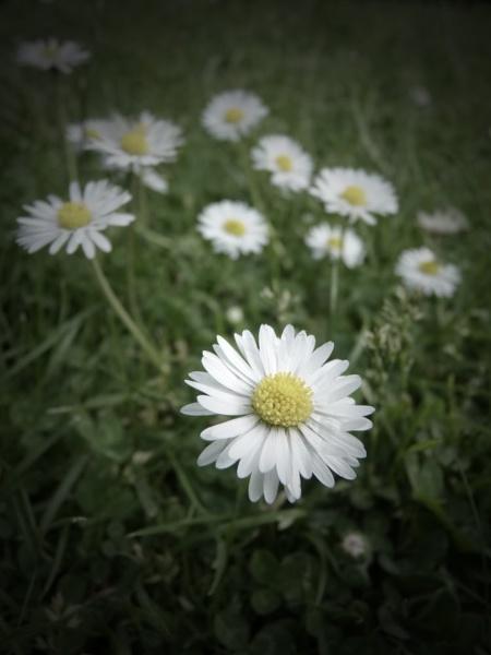 Dear daisy.... by Kittenfox