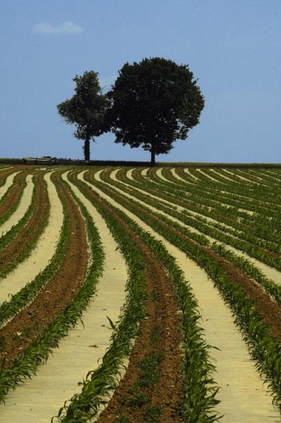 corn plantation, vendée by annettep38