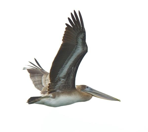 Brown Pelican in flight by StuartDavie
