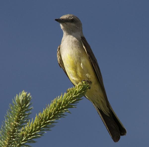 Western Kingbird by StuartDavie