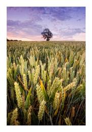 Wheat Fields 2