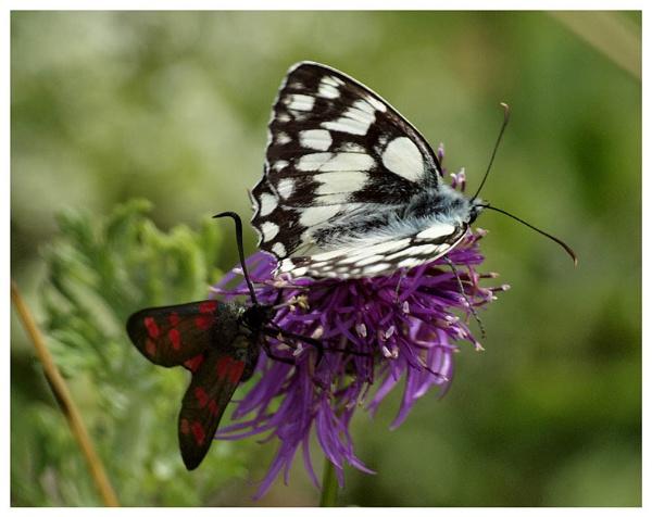 Moth meets Butterfly by nigele1