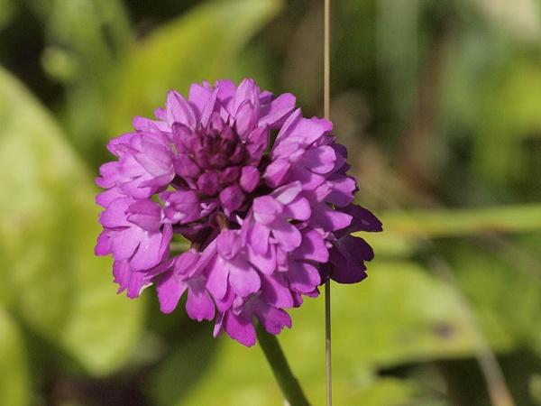 Pyramidal Orchid - Badbury Rings by nigele1
