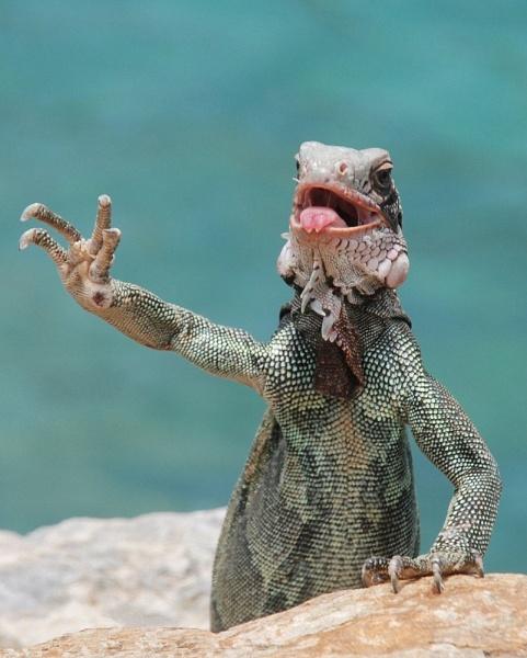 Iguana by big bill
