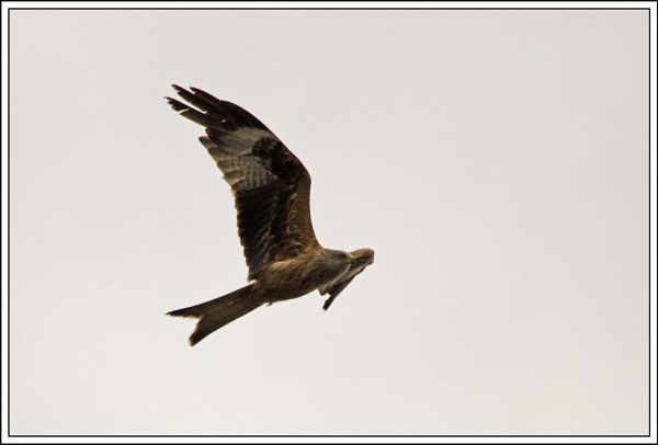 Red Kite by wizardsmagic