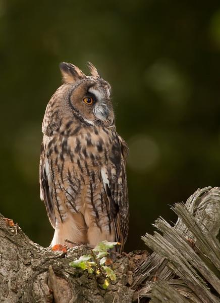 Long-eared Owl by Greyheron