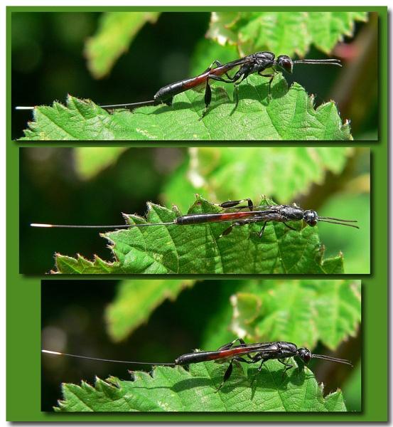 ichneumon wasp by bunbeam