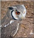 *City Owl*