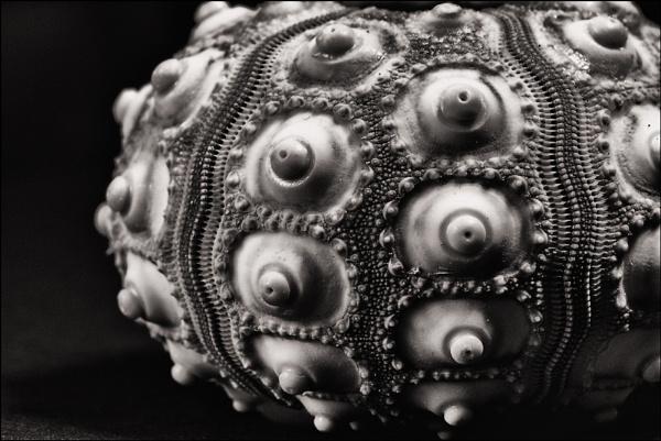 Sea Urchin by dwilkin