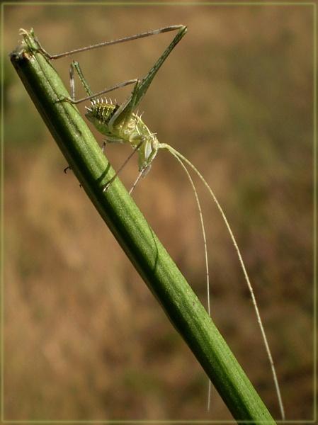 prickly cricket by CarolG