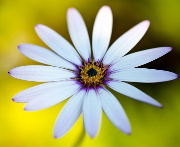 Daisy ?????? by Trev_B