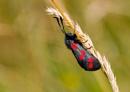 Six Spot Burnet Moth by Graywolf