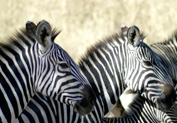 Zebra on Serengeti by n8trm
