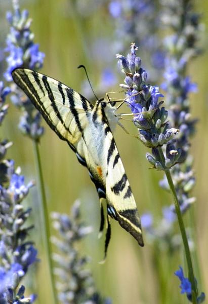 Swallowtail feeding on Lavender by n8trm
