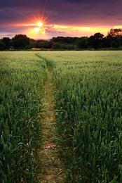 Barley field sunset