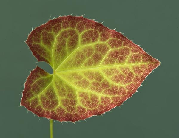 Epimedium x rubrum leaf by JohnGubbins