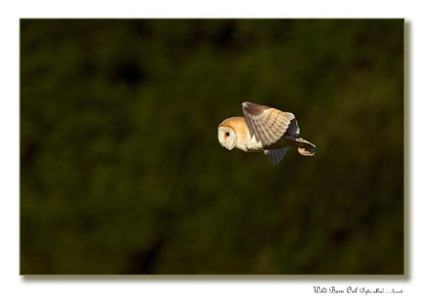 Wild Barn Owl (Tyto alba) by teocali