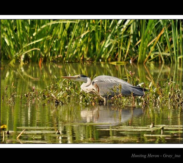 Hunting Heron by Gray_ina