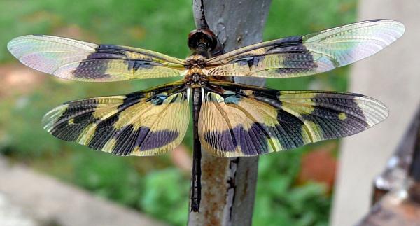 Dragon Fly by samarmishra