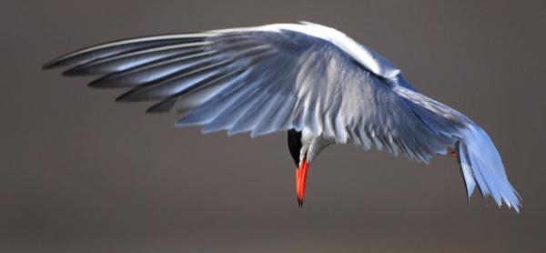 Tern by chunky1972