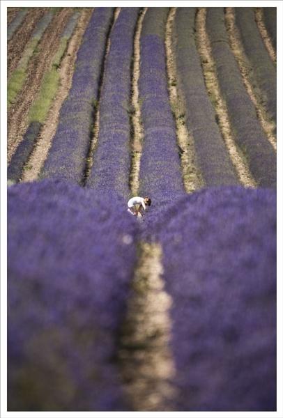 Picker in Lavender by rontear