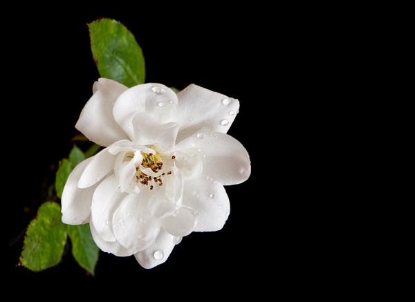 Little white by Dado