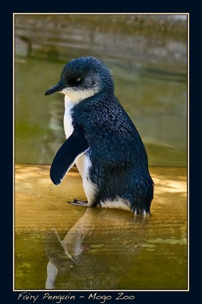 Fairy Penguin by Joeblowfromoz