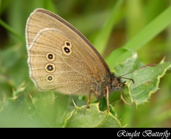 Ringlet Butterfly by Jolind