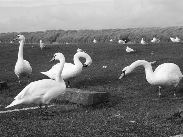 swan song by fleetwoodflyers
