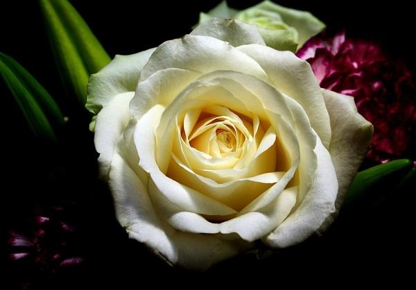 Rose in the spotlight by nikshot