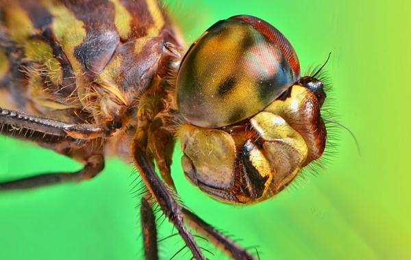 Dragonfly Eyez by gnovey