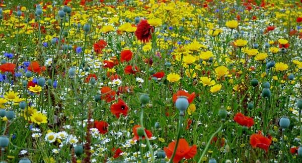 Wild Flower Meadow seen on my walk on Wednesday by sedonamoonshine
