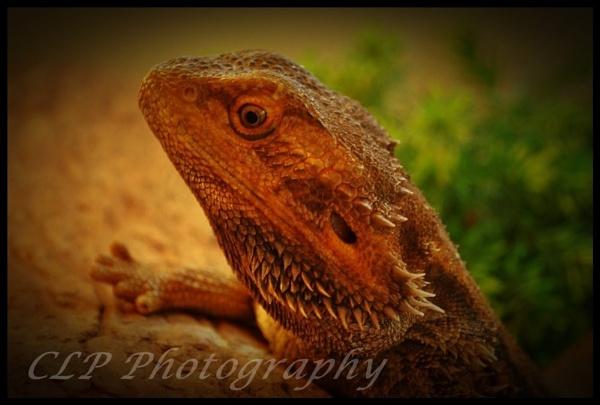 Bearded dragon by catherinekp79