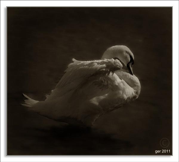 portrait of a swan by yaco