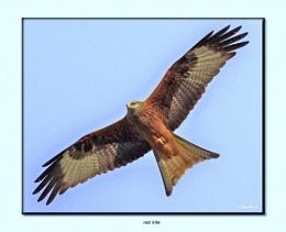gigrin kite