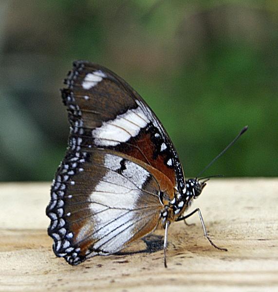 Diadem Butterfly by ciara25