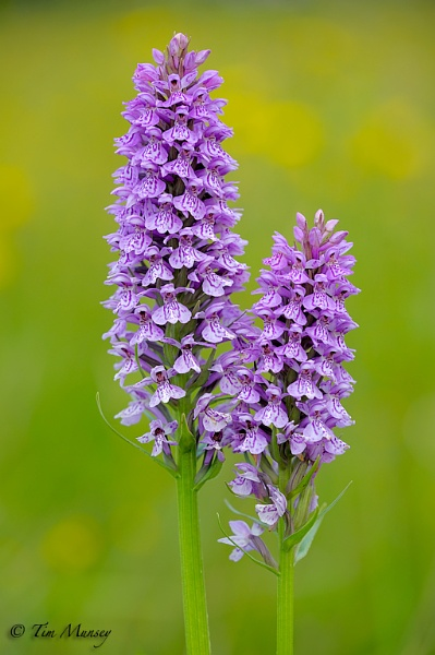 Common Spotted Orchids by TimMunsey