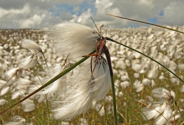 cotton grass by skyesam